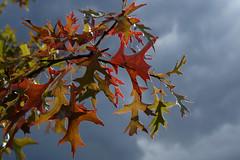 Herstlaub (marthareichardt) Tags: eiche wolken herbst wetter bunt himmel clouds ciel blätter leaf sky baum tree autumn herbstlaub farben