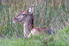 Fallow Deer (The 1 Big Cheese) Tags: fallowdeer bolderwooddeersanctuary newforest sigma150600mmf563dgoshsmsports