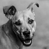 Zoey_Stevens04Nov201793-Edit.jpg (fredstrobel) Tags: dogs pawsatanta phototype atlanta blackandwhite usa animals ga pets places pawsdogs decatur georgia unitedstates us