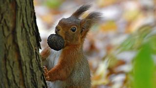 Eichhörnchen mit Frucht des Taschentuchbaums