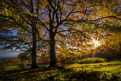 Golden Beeches (Alan10eden) Tags: beech trees golden colour autumn fall countyarmagh trunk leaves light morning sunrise dawn sunburst yellow orange bluesky november ulster canon 80d 1022mm landscape wideangle uwa alanhopps seasonal shed deciduous