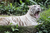 White Tiger_Canon 5dsR_HSS_BZ22 (Barry Zee) Tags: white tiger singaporezoo zooanimal 5dsr canoneos5dsr canonef300mmf4lisusm 1view0faves0commentsshowmorestatstakenonoctober3 2017allrightsreservedcanoneos5dsr whitetiger canonphotography explore