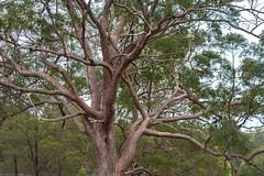 tallowwood (dustaway) Tags: myrtaceae eucalyptus eucalyptusmicrocorys tallowwood australiantrees trunk branching habit kempsey midnorthcoast nsw australia