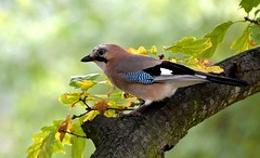 Jay (petrk747) Tags: naturebynikon natureofautumn nature fauna bird birds tree limb travelling outdoor jay jays branch animal forest wood light saariysqualitypictures ngc npc