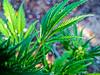 Cannabis (JuliSonne) Tags: cannabis marihuana pot droge hanf drug haschisch plant softdrug dope smoking relaxing medicine resistantfiber agricultural