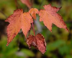 Fall Leaves, Hartley Park, Duluth 10/9/17 #fall #leaves (Sharon Mollerus) Tags: duluth minnesota unitedstates us cfptig17