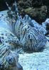 Rascasse volante & méditante (Jean (tarkastad)) Tags: tarkastad monaco bestioles fisk fish poisson rascassevolante commonlionfish devilfirefish pteroismiles