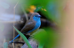 blue waxbill (tdwrsa) Tags: tamronsp150600mmf563divcusda011 mapungubwenationalpark gewoneblousysie canoneos70d bluewaxbill uraeginthusangolensis
