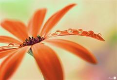 A moment of orange (Trayc99) Tags: orange bright flower water droplets tears drops reflection petals delicate beautyinnature beautyinmacro beautiful macro closeup bokeh