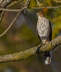 Cooper's Hawk - Accipiter cooperii (AnthonyVanSchoor) Tags: accipiter cooperii coopers hawk marylandbiodiversityproject howardcountymd howardcountybirdclub raptor birdofprey birding bird birdphotography birdshare birdwatchingmagazine audubon magazine