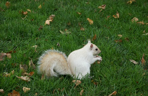 """White Squirrel • <a style=""""font-size:0.8em;"""" href=""""http://www.flickr.com/photos/52364684@N03/24269807058/"""" target=""""_blank"""">View on Flickr</a>"""