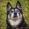 Tara (Moopix.nl) Tags: siberian husky huskies sleddog snowdog mushing stakeout georgeous
