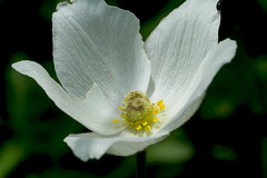 Großes Windröschen (planetvielfalt) Tags: dicotyledonae magnoliidae ranunculaceae ranunculales spermatophyta jena thüringen deutschland