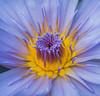 Lotus (grbush) Tags: lotus flower closeup macro sonya7 dt30mmf28macrosam nature blue yellow petal nelumbonucifera flora aquatic