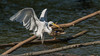 Egret-07269 (Paul McGoveran) Tags: egret hamilton rbg sony70400ssmii sonya77 sonya99 burlington ontario canada ca
