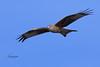 Milvus milvus (Tonpiga) Tags: tonpiga uccelliinlibertà faunaselvatica rapace predatore milvusmilvus nibbioreale