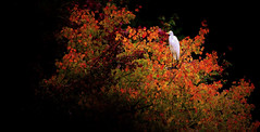 Splash of Color (RWGrennan) Tags: great egret fall foliage leaves rhode island ri travel tree bird westerly watch hill no bottom pond roost new england nikon d610 rwgrennan rgrennan ryan grennan wild wildlife wow nature outside outdoors autumn beautiful shadow tamron 150600