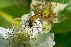 Scheinbockkäfer (planetvielfalt) Tags: auenwald coleoptera cucujiformia oedemeridae polyphaga schkeuditz sachsen deutschland