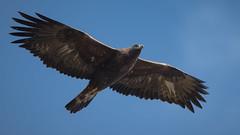König der Lüfte (bertheeb) Tags: steinadler adler greifvogel vogel nikon d750 500mmvr