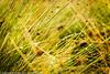 Glistening Grasses (Pexpix) Tags: grasses drops nationalpark exmoor dof water damp dew grass focus natural green droplets colour color 攝影發燒友