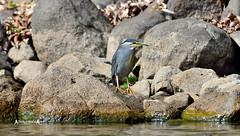 Striated heron (Butorides striata) (José M. F. Almeida) Tags: kenya safari bird watching tropical africa 2017 reserv game life wildlife vida selvagem lake naivasha striated heron butorides striata