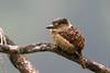 Barred Puffbird D4A6352.jpg