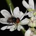 Phasia pusilla (Tachinidae) - a tiny big-eyed Tachinid fly,  ♂ -