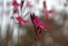 Fondu d'un dimanche de grisaille (Explore 1/10/2017) (chriskatsie) Tags: flower fleur bokeh explore