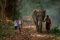 Asian students with their father walking go to school with their elephant. (Visoot20) Tags: elephant poor school thailand girl forest child boy asian asia student thai home young people smile lifestyle kid education little childhood countryside uniform children kids safari malaysia walking nature environment friend happy background portrait white face mist happiness animal play wild family wildlife rural trees learn reading classroom local cambodia