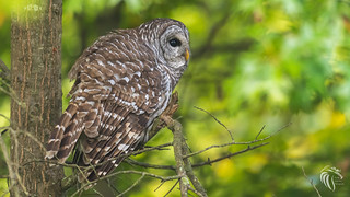 Barred Owls of New Jersey | 2017 -10