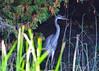 DSC_7384_edit (Hanzy2012) Tags: ontario canada sandbanks provincial park greatblueheron