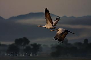 Demoiselle crane