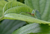 akaboshigomadaraby17818cl (takao-bw) Tags: アカボシゴマダラ theredringskirt タテハチョウ nymphalidae brushfootedbutterfly butterfly 鱗翅目 lepidoptera insect 蝶 japan