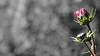 Autumn flower (wigerl - herwig ster) Tags: autumn carinthia landschaft fujixt1 austria bokeh blume cinemaformat licht colourkey fujipower light kärnten fujiflower foto colourfull 169 flower flowerbokeh blumenbokeh fujilove fuji black fujixf18135mm herbst österreich europa europe