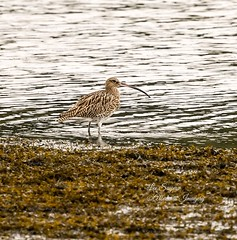 Beautiful Curlew. (Albatross Imagery) Tags: rspb nikonwildlife gorgeous facebook photographer photo photography flickr instagram waterbirds england uk newforest hampshirewildlife hampshire beautiful nikkor nikonphotography nikon nature wildlifephotography wildlife wildbirds bird birds waddingbirds curlew