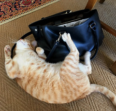 Luckily a claw-proof handbag (rjmiller1807) Tags: cat kitty meow ginger katze katte iphone iphonography iphonese witchery woolworths 2017 handbag gingercat catsofcapetown