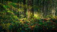 Lost (YᗩSᗰIᘉᗴ HᗴᘉS +10 000 000 thx❀) Tags: lost bois forêt forest courrière belgium belgique europa europe green nature autumn automne