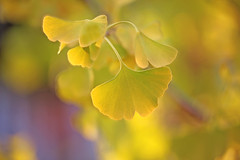 Golden Ginkgo (lfeng1014) Tags: goldenginkgo maidenhairtree ginkgobiloba ginkgo leaves autumncolours autumn autumnleaves macro macrophotography 100mmf28lmacroisusm canon5dmarkiii closeup bokeh light dof depthoffield lifeng