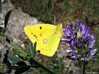 Butterfly 1470