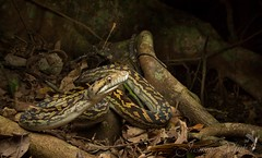 Scrub python (Morelia amethistina) (jasmine_vink) Tags: