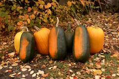 Bunch (obsequies) Tags: fall autumn harvest halloween october canada leaves pumpkins pumpkin gourd homestead homegrown dog doggo cute life seasons whimsy whimsical heirloom grow earthy nature colourful colorful trees tree orange algonquin omaha carver gardener manitoba cottage shabby chic real