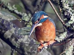 Martin arrantzale (josuneetxebarriaesparta) Tags: kingfisher martínpescador txoria ave pájaro bird animal