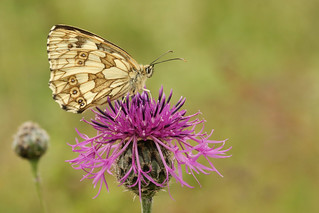 Marbled White Butterfly (Melanargia galathea) on a Greater Knapweed flower (Centaurea scabiosa).