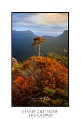 Gum tree grow tall standing above all the rest Blue Mountains (sugarbellaleah) Tags: gumtree leaves tall growth standoutfromthecrowd bluemountains landscape portrait beauty bushes light sunlight clouds sunset afternoon red green forest mountain valley views scenic nationalpark splendour