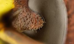 Hornet (11x) (Can Tunçer) Tags: can cantunçer cantuncer canon canon6d macro makro macros macrophotography micro mikro makros microscope microscop mitutoyo mitu5x nikon nikon10x stack stacking studio setup stand hornet tunçer turkey turkiye türkiye tuncer izmir ikea jansö jansjö insects istifleme
