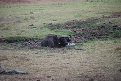 DSC_0763 (graceesimp) Tags: olpejeta capebuffalo