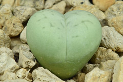 2 septembre 2017 - Dinteranthus vanzylii 'Emerald'