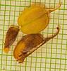 CAE006543-1a (jerryoldenettel) Tags: 170830 2017 bluemilkwort chavesco fabales nm nm246 polygala polygalabarbeyana poygalaceae rosids roswell wildflower flower milkwort capsule seed aril