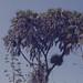 Ansellia. Leopard orchid on doum palm