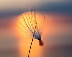 sunset milkweed (marianna_a.) Tags: p1580527 sunset macro milkweed seed one single wind marianna armata